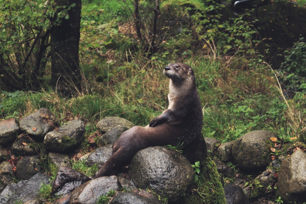 A Seattle otter's asthma was triggered by wildfire smoke.
